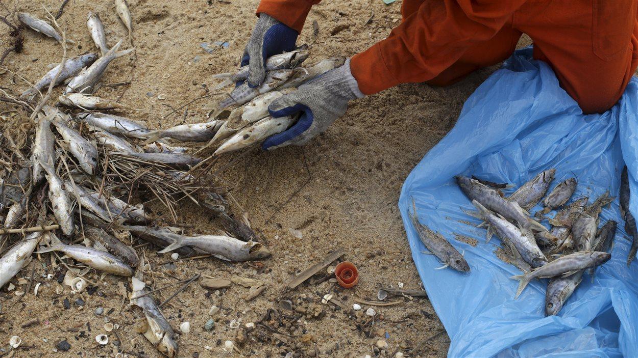 Un pêcheur ramasse les poissons morts sur une plage suite à la coulée de boue du 5 novembre 2015.