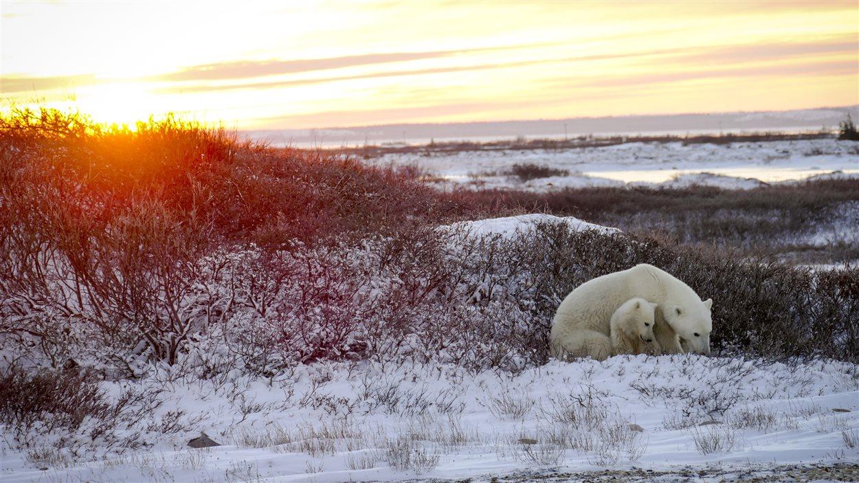 Une mère et son petit attendent que les eaux de la baie d'Hudson gèlent pour aller chasser le phoque.