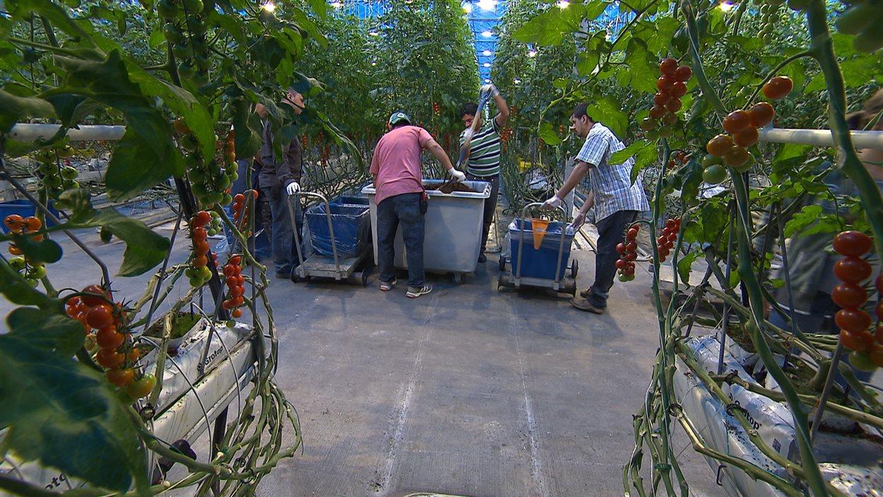 Production de tomates en Mauricie