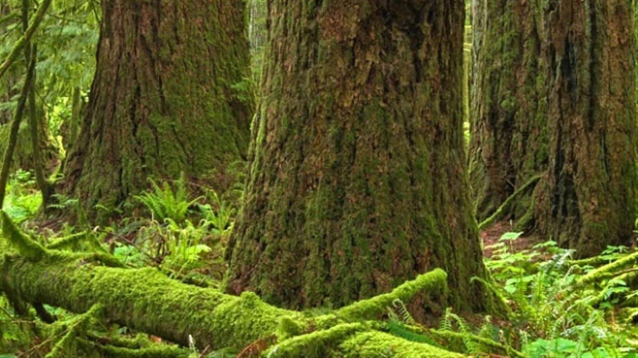 Des arbres anciens dans une forêt de la Colombie-Britannique