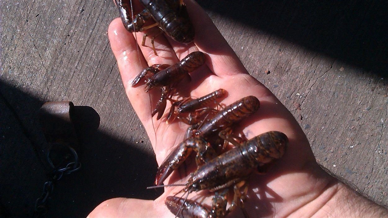 Cinq petits homards