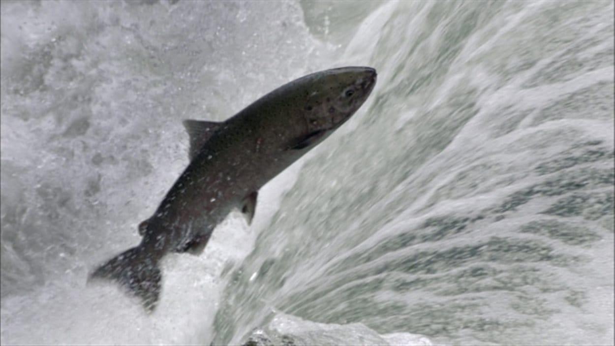 Le saumon Chinook est le repas préféré de la population d'épaulards vivant au large de la côte du Pacifique.