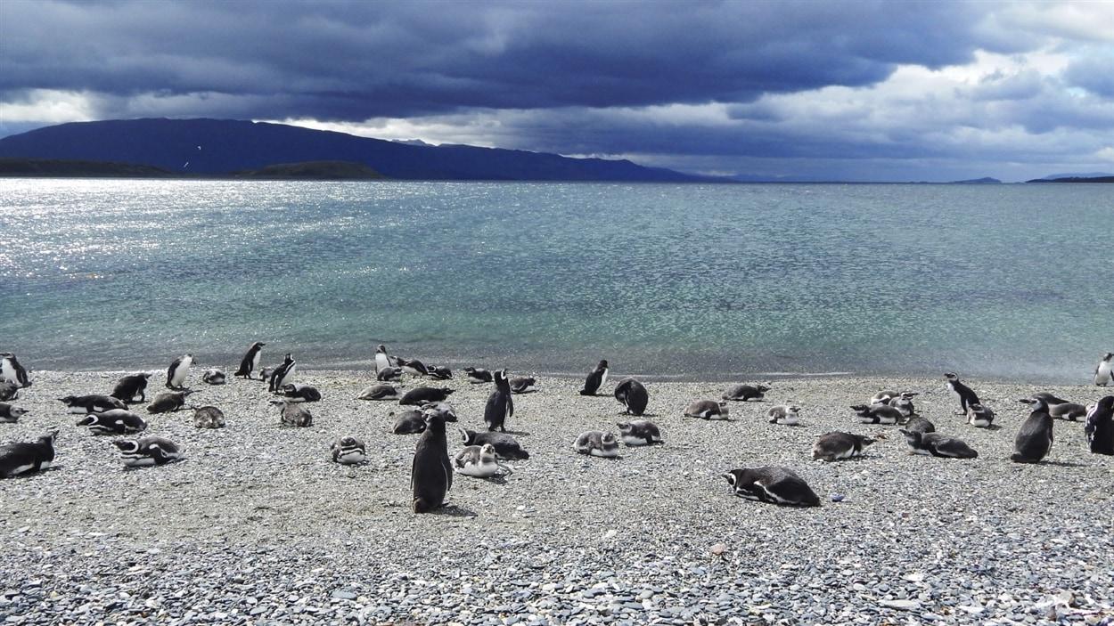 Colonie de manchots à Ushuaïa, en Argentine