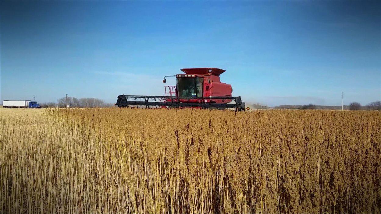 Un champ de quinoa en Saskatchewan