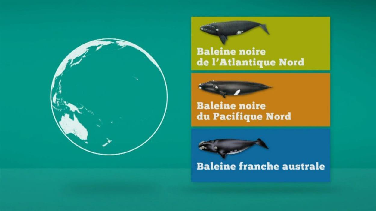 capsule chiffrée sur les espèces de baleines noires