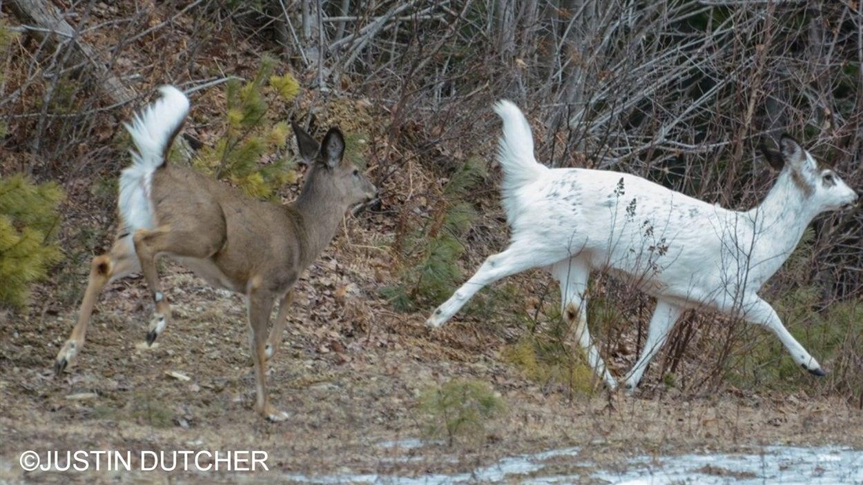 Un chevreuil blanc a été aperçu au nord de Fredericton