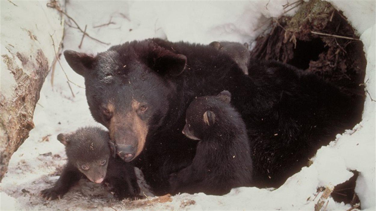 Ours et oursons en hibernation