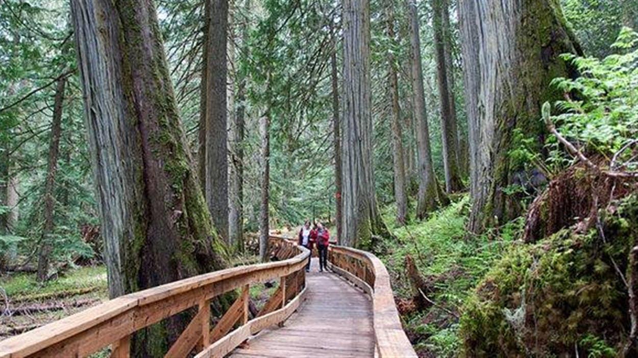 Un sentier aménagé du nouveau parc Ancient Forest en Colombie-Britannique