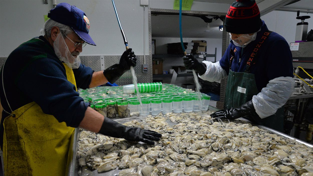Des employés de Taylor Shellfish conditionnent les huîtres récoltées la veille.