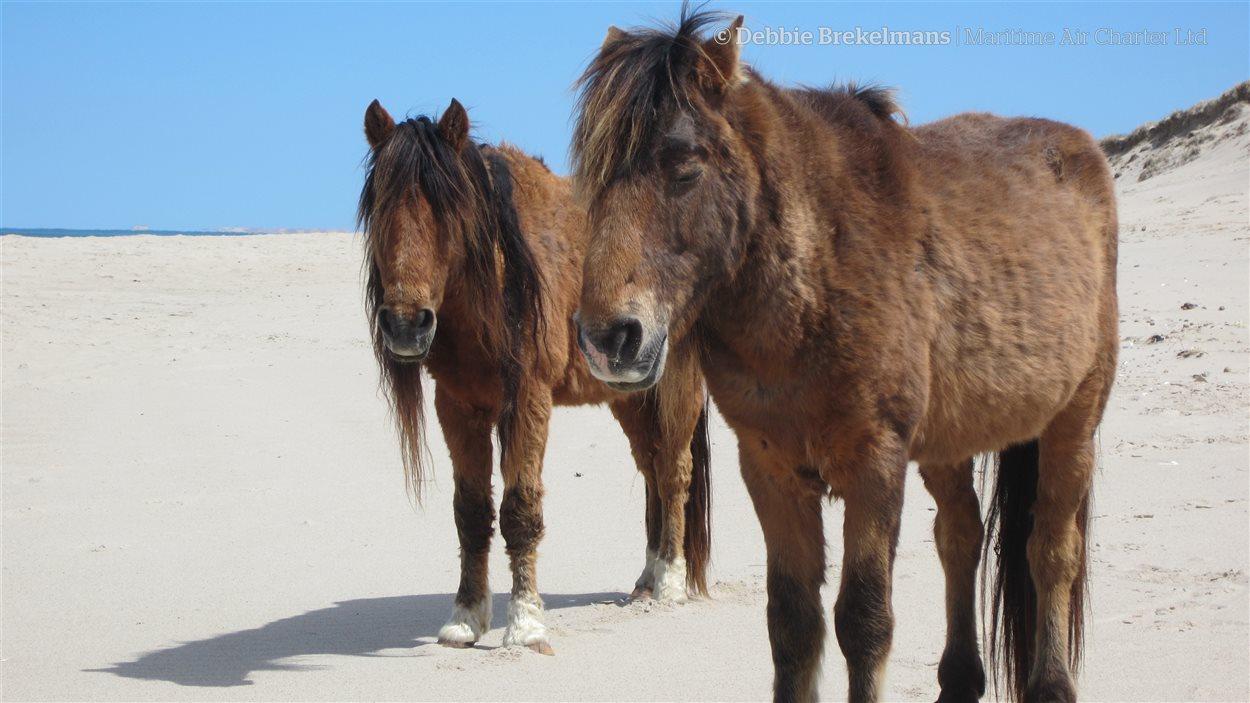 Les chevaux sont pratiquement les seuls habitants de l'île de Sable depuis longtemps.
