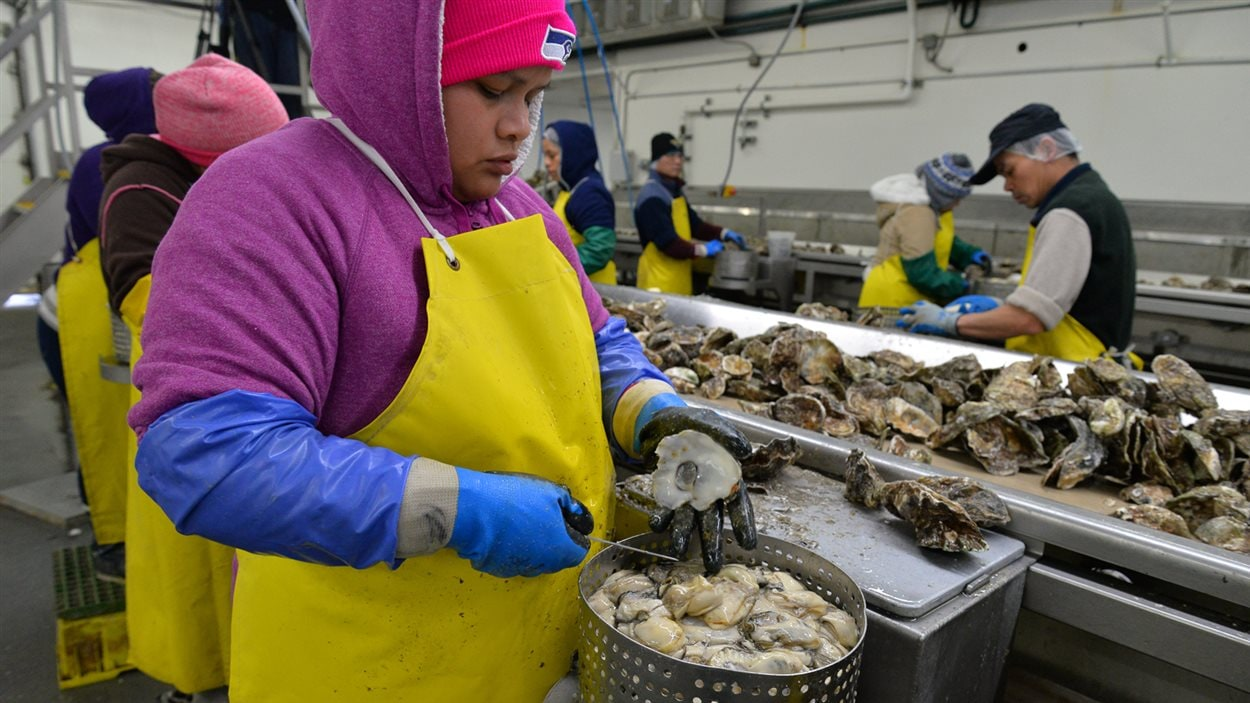 Les employés de Taylor Shellfish ouvrent les huîtres récoltées la veille, 8 heures par jour.
