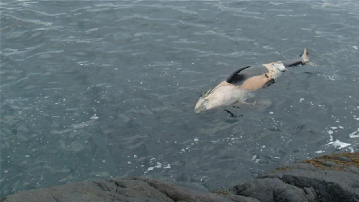 Photo de la jeune orque retrouvée morte au large de la Colombie-Britannique.