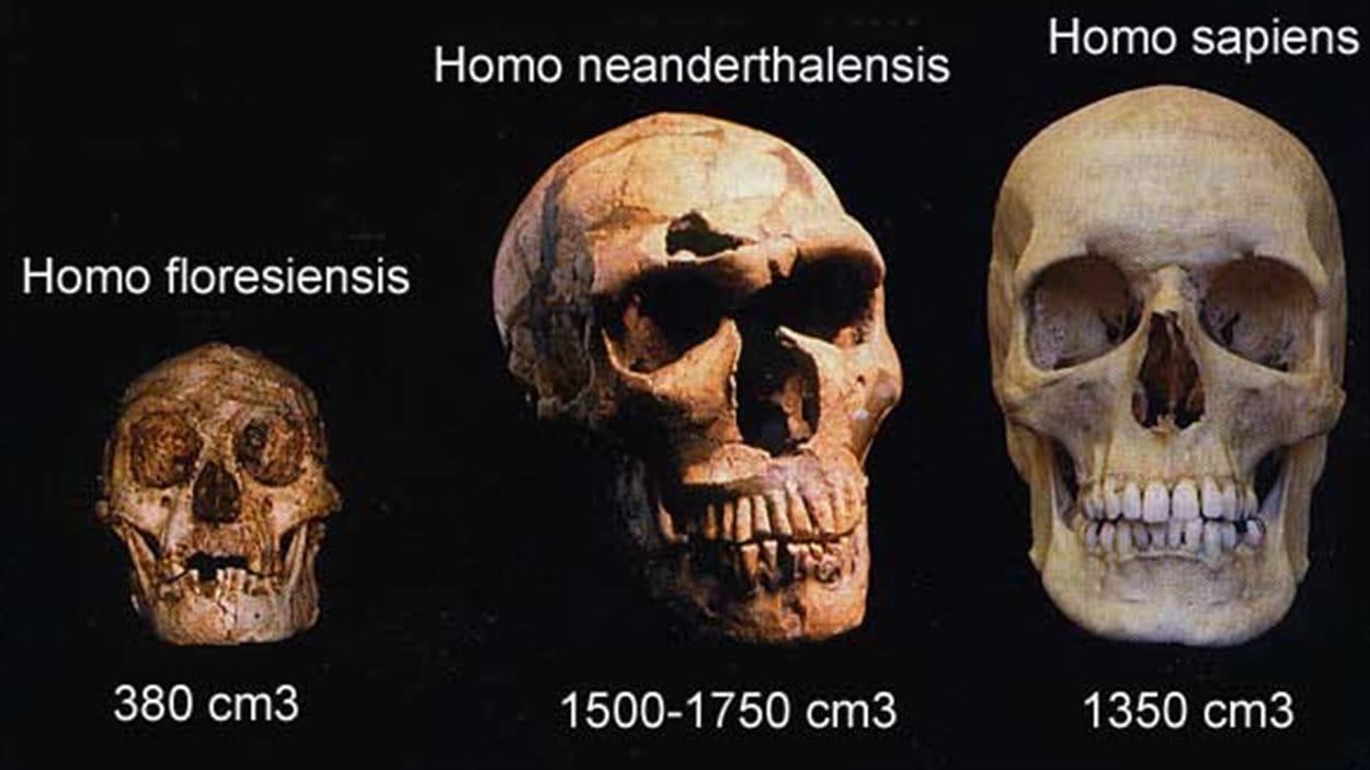 Comparaison des crânes de trois espèces Homo.