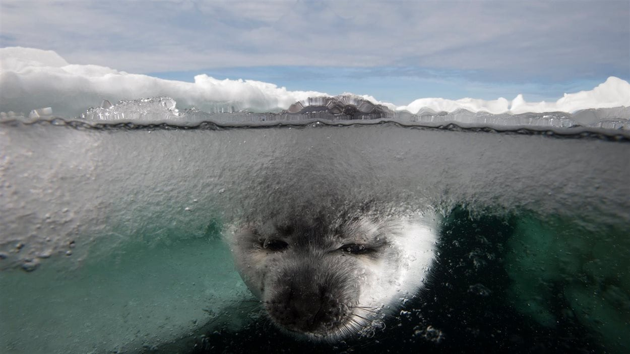 Une photographie de Mario Cyr. Phoque avec la tête dans l'eau glacée