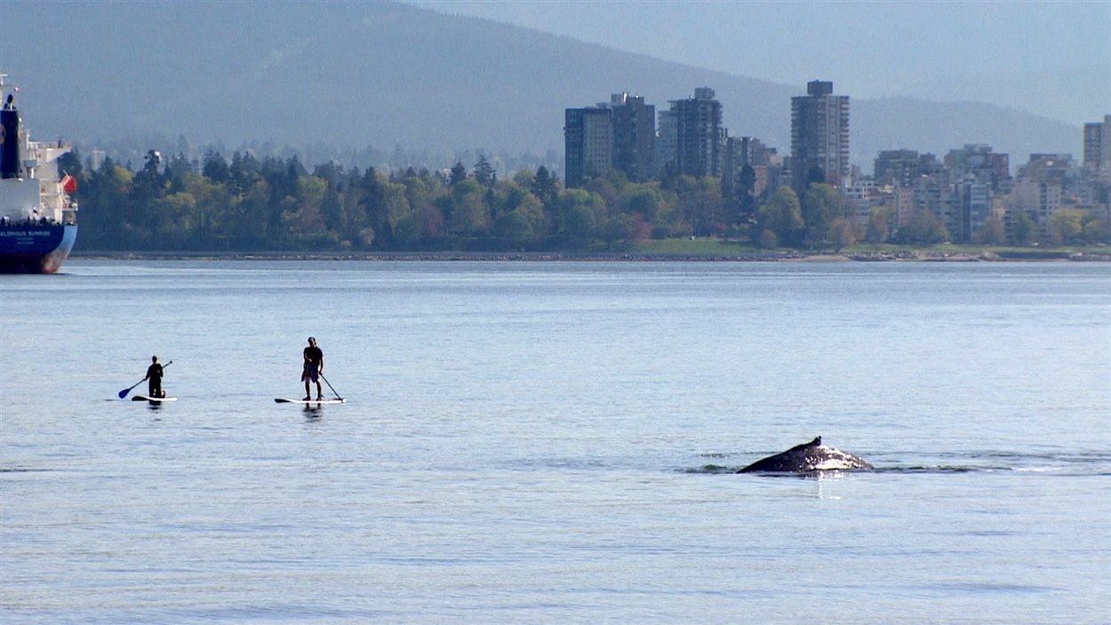 CBC a réussi à capturer quelques images de la baleine au large d'English Bay.