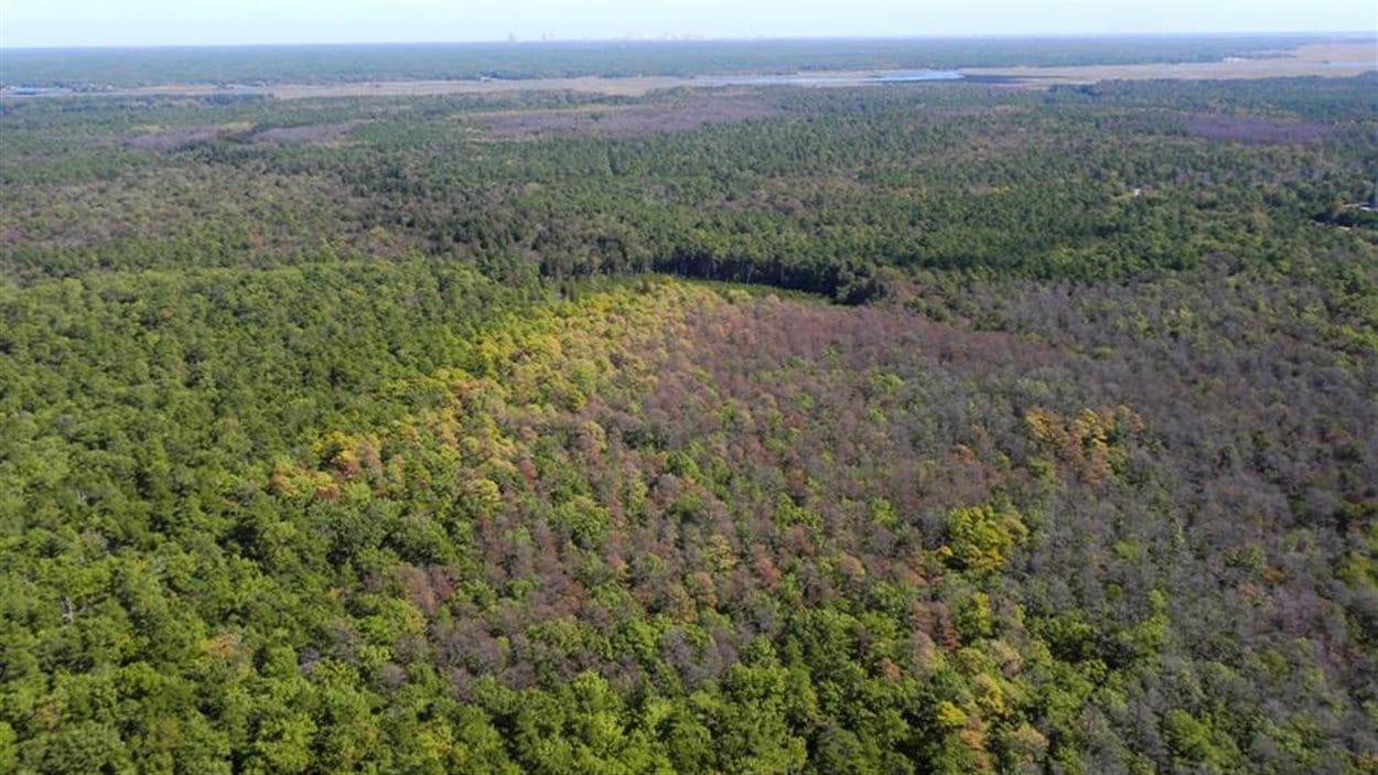 Une forêt du New Jersey où sévit le dendroctone méridional du pin.