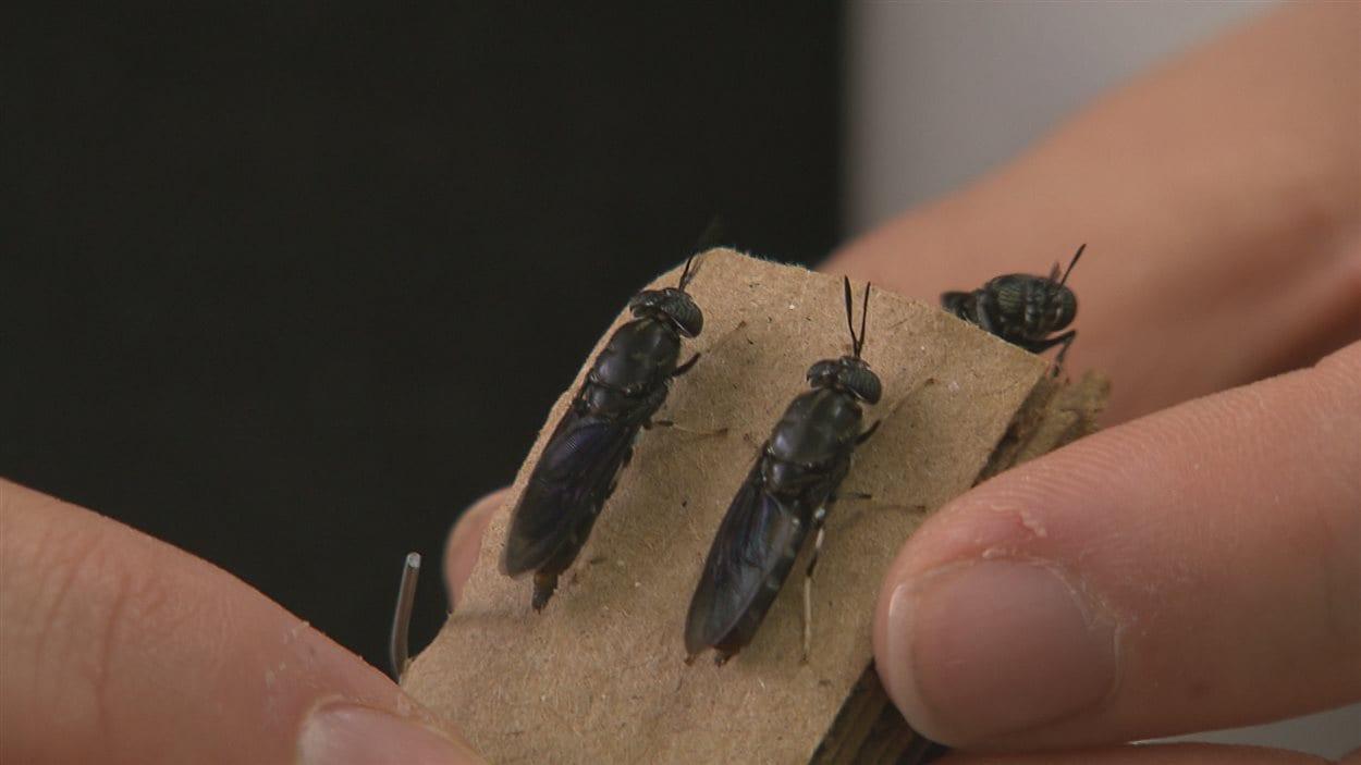 Des mouches pondent