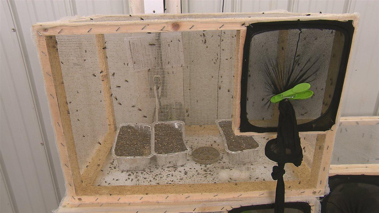 Les mouches grandissent dans des cages comme celle-ci.