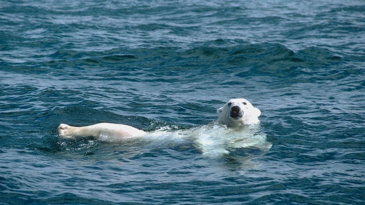 Un ours polaire nage dans l'océan Arctique