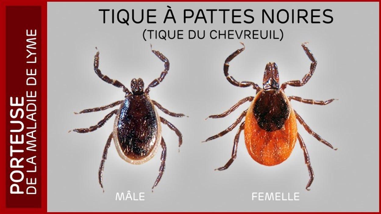 Les tiques peuvent être porteuses de la maladie de Lyme.