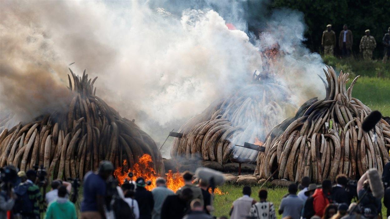 Des piles d'ivoire d'éléphant confisqué à des contrebandiers sont brûlées publiquement le 30 avril 2016 au parc national de Nairobi, au Kénya.