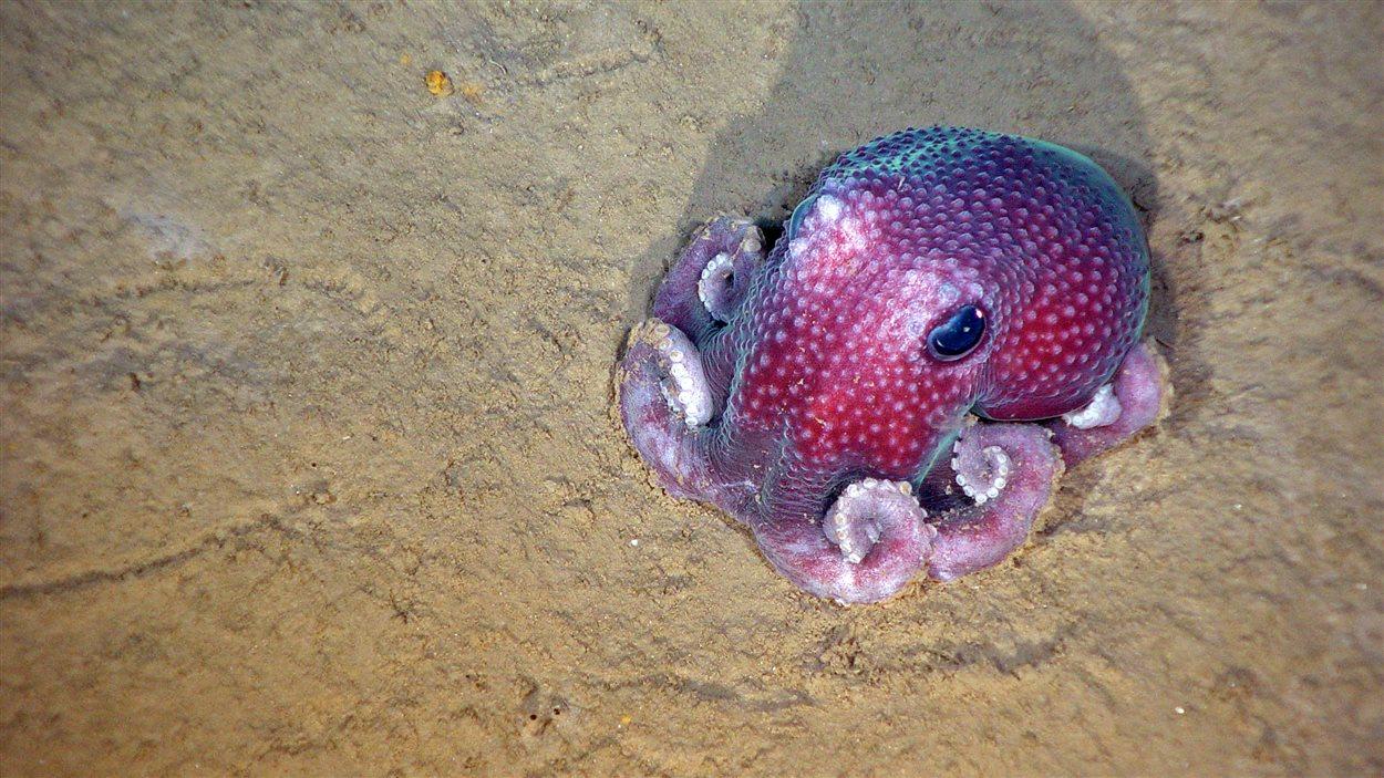 Une sorte de pieuvre a été découverte dans le Gully.