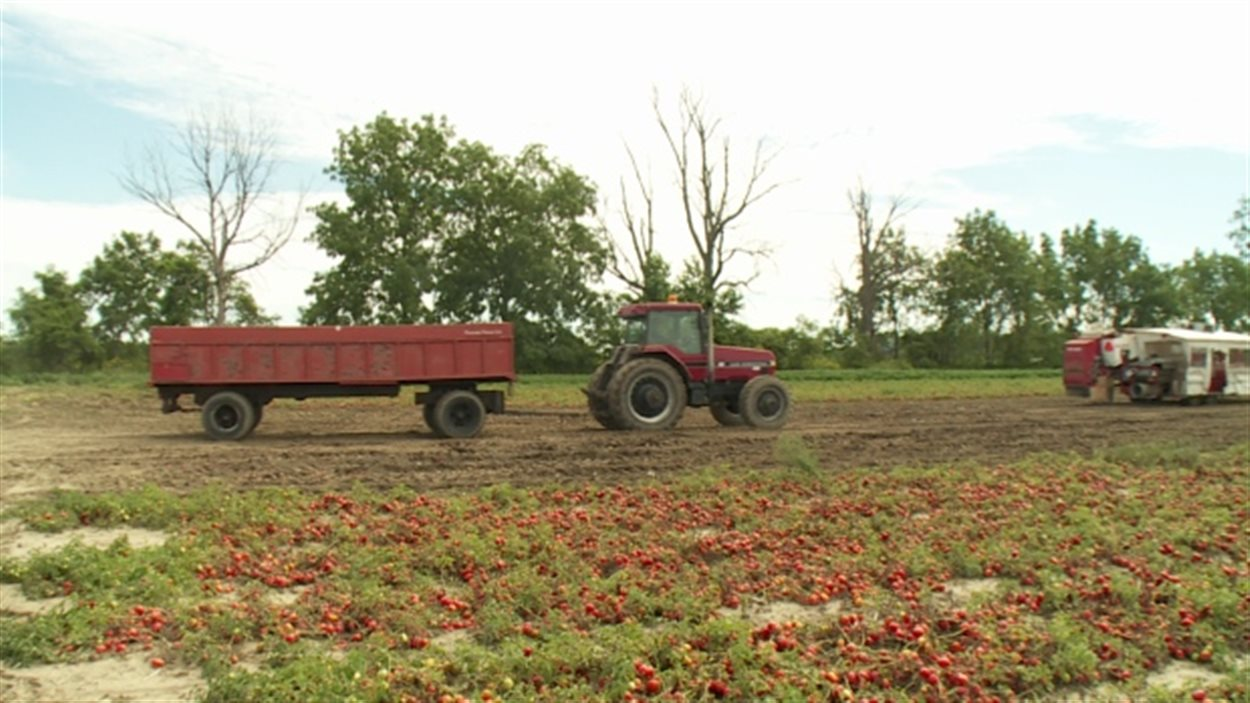Un champ de tomates à Leamington