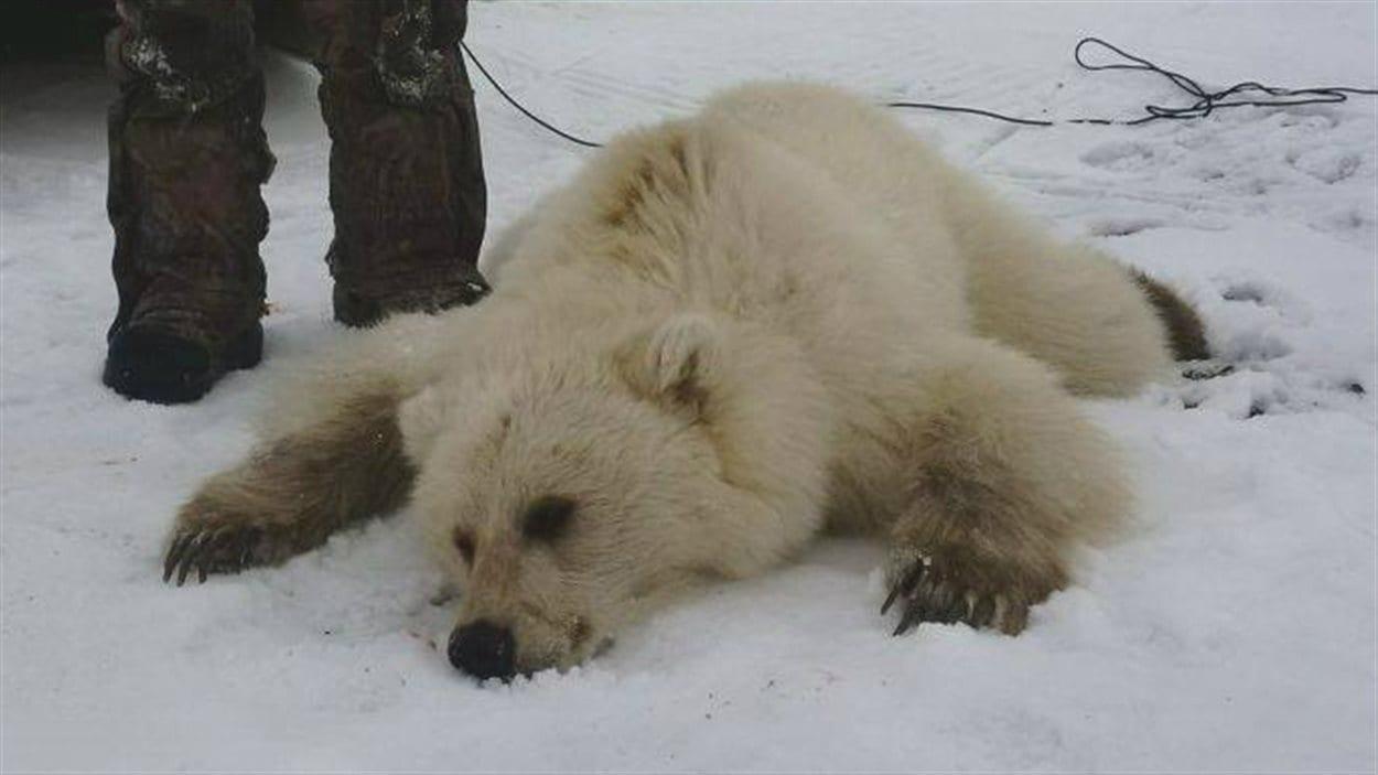 Un pizzly, hybride rare entre un ours polaire et un grizzly