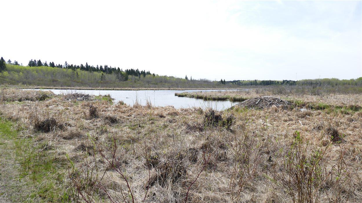 Le marais Ominnik, un endroit sur le sentier sud du lac Clear où les castors construisent des barrages