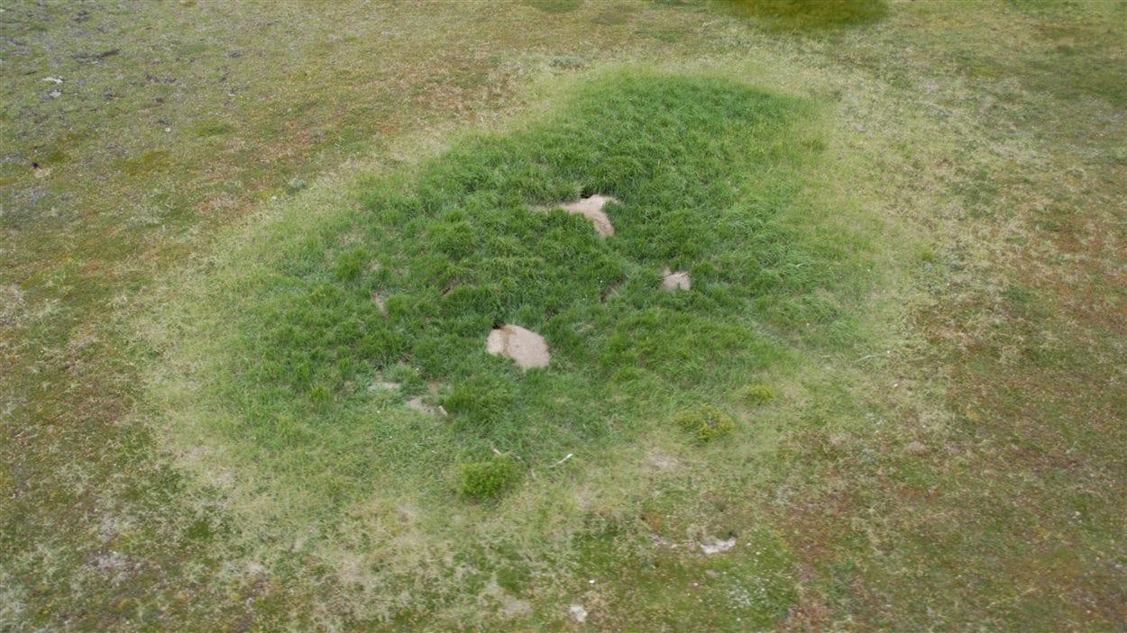 Une prise aérienne près de Churchill au Manitoba, des jardins autour des tanières de renards arctiques.