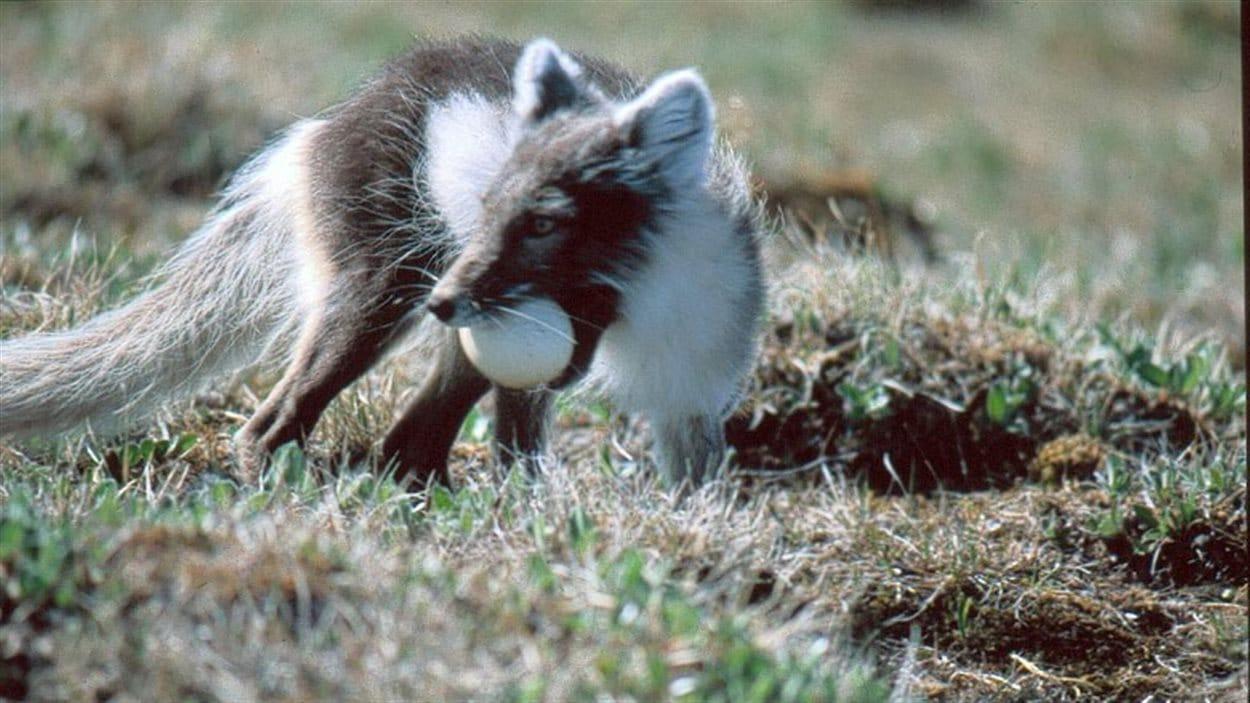 Un renard arctique avec l'oeuf d'une oie blanche dans la bouche.