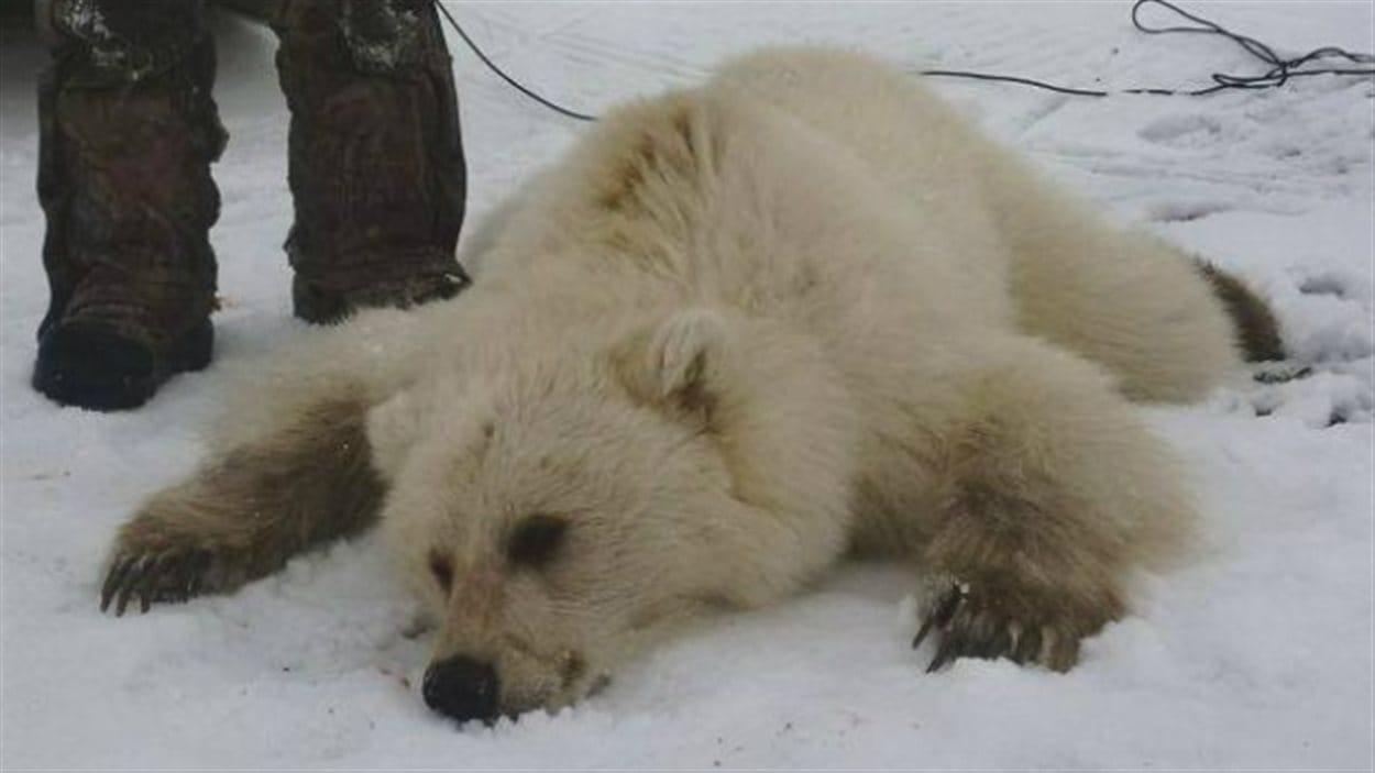 pizzly mort dans la neige, croisement entre un ours polaire et un grizzly.