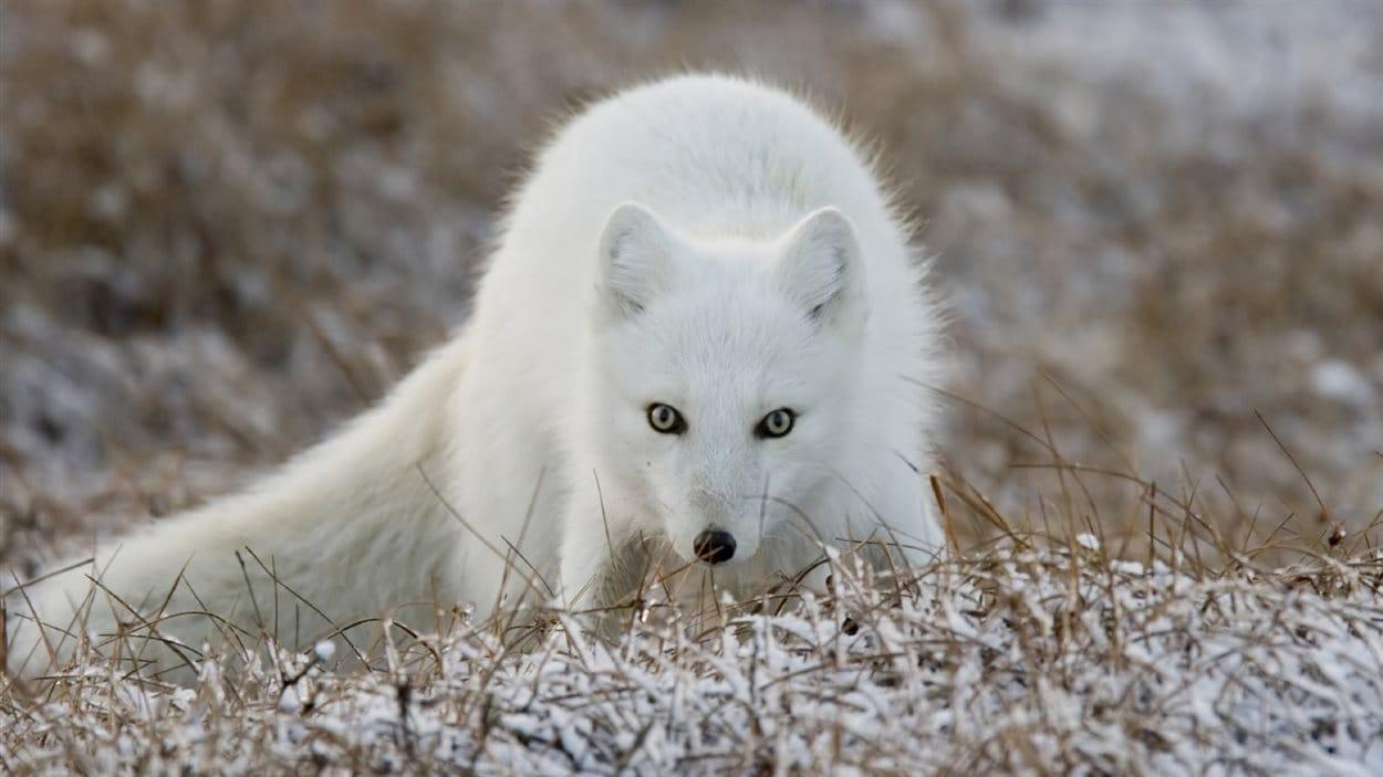 Il y a environ 100 terriers de renards dans le parc national Wapusk.
