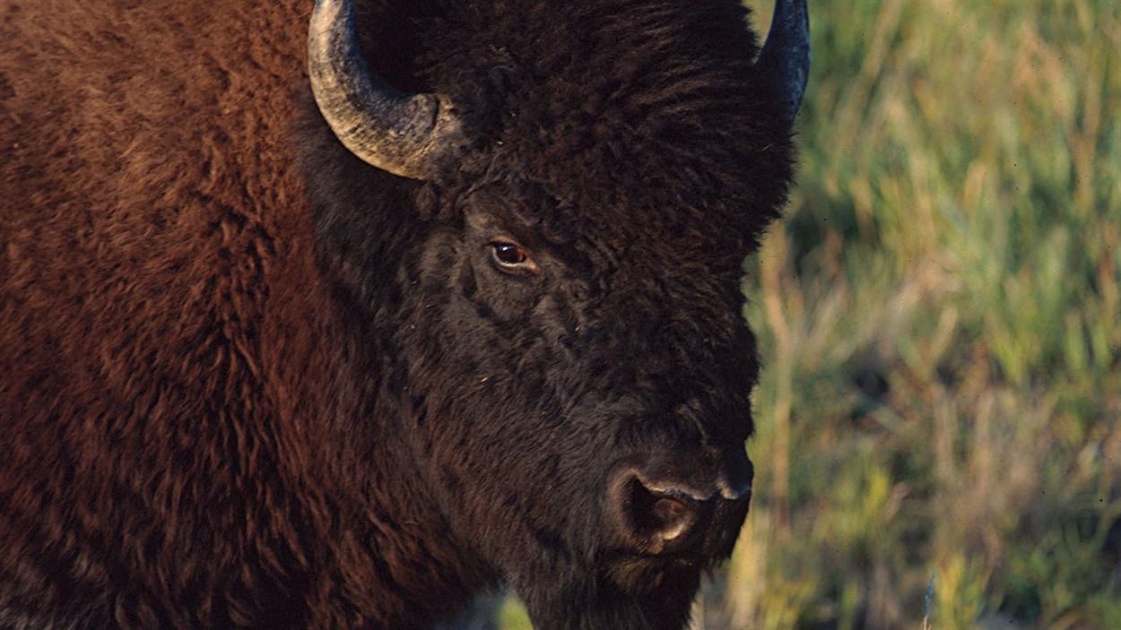 Pendant la période glaciaire, les humains chassaient le bison au nord et au sud des glaces qui recouvraient la majorité du territoire.