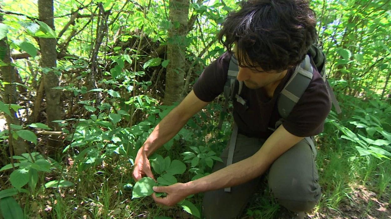 Suivre le Mantario c'est aussi porter attention aux plantes qui se trouvent le long du chemin. Daniel attire ici notre attention sur la clintonie boréale, une plante dont les feuilles sont comestibles.