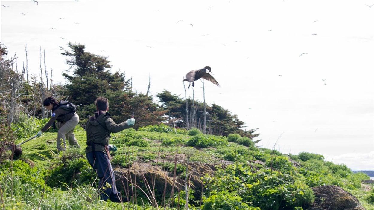 La capture des femelles est une activité très sportive pour les biologistes