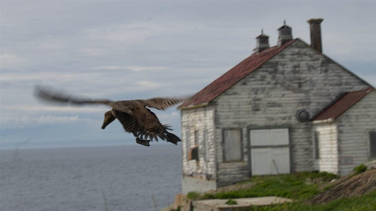 Une femelle eider rejoint le rivage sur l'île Bicquette