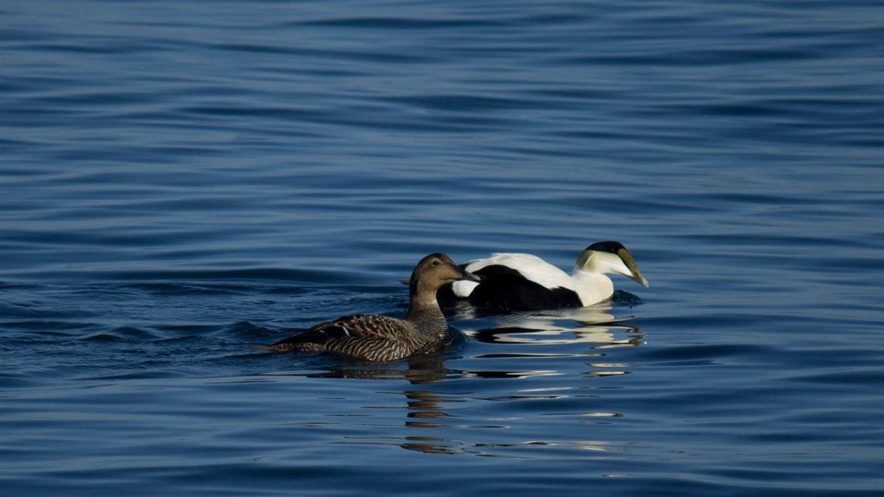 En plus des eiders, la réserve abrite également des petits pingouins, des guillemots à miroir et des mouettes tridactyles.