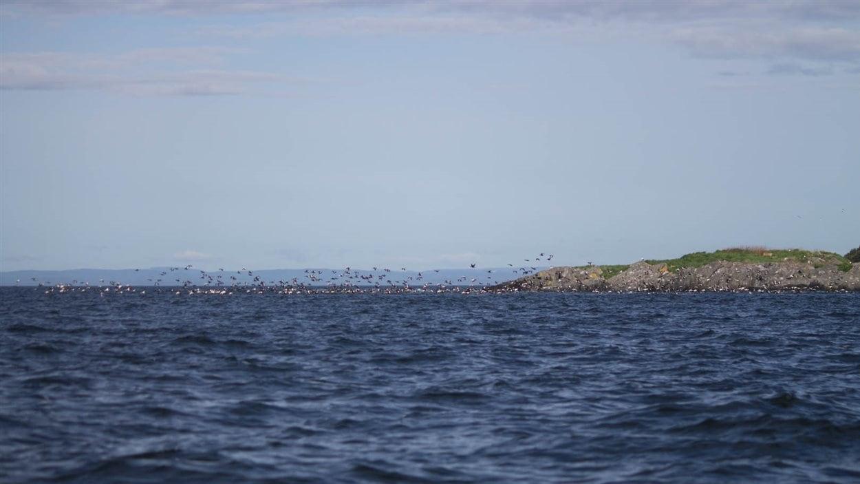 Les eiders mâles au large de l'île Bicquette