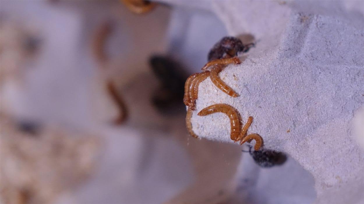 Les ténébrions, ou vers de farine, réduits en poudre ont un goût de cacao, selon Sonia Plante