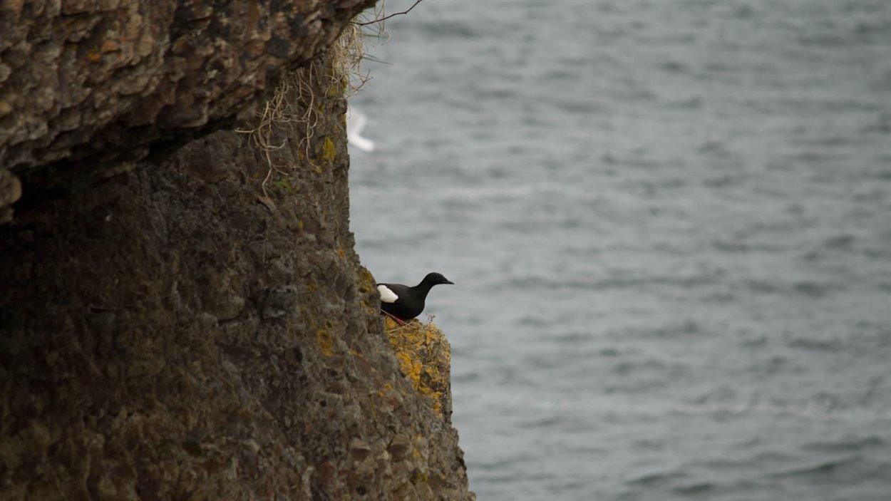 La majorité des eiders mâles partent l'été vers l'île d'Anticosti