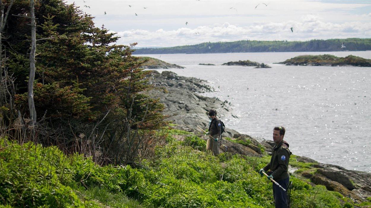 Les biologistes d'Environnement Canada, en collaboration avec des techniciens de l'UQAM, sont de passage sur l'île pour baguer les femelles et ainsi récolter des données sur la fluctuation de la colonie