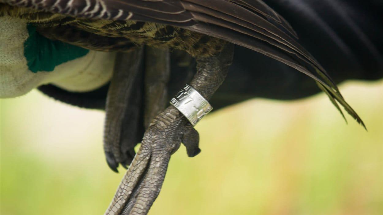 La bague est utile pour les biologistes pour l'identification et le suivi des populations d'eider