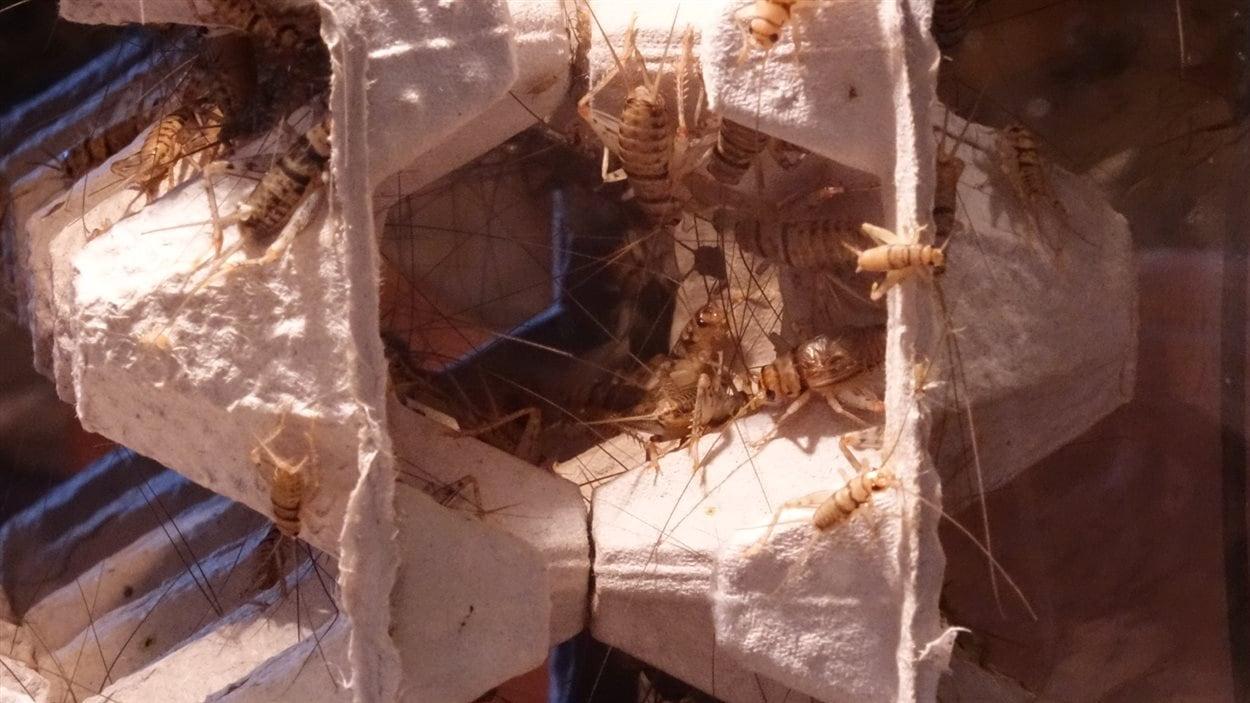 Un échantillon des grillons élevés par Sonia Plante pour son entreprise Virebebittes, qui démarrera à l'automne. Les insectes sont gardés dans un aquarium.