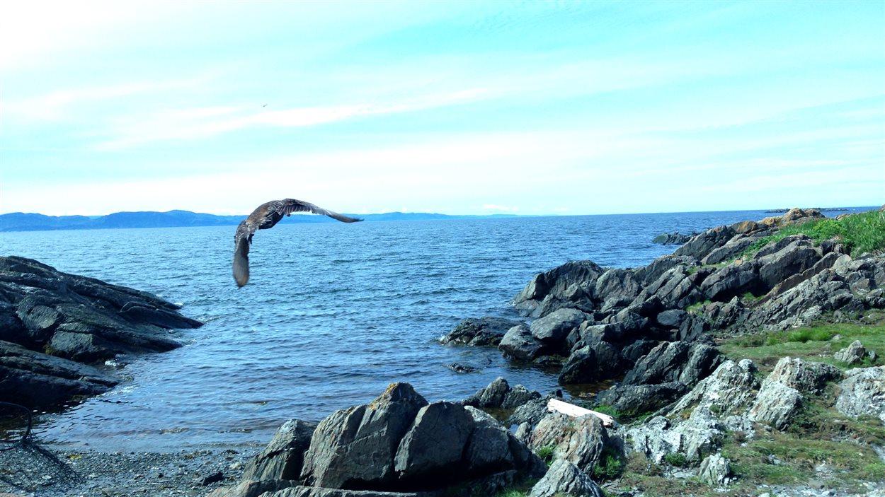 Une femelle eider en plein vol