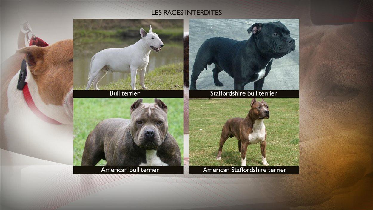 Les races de chiens qui sont visées par le règlement de la Ville de Québec.