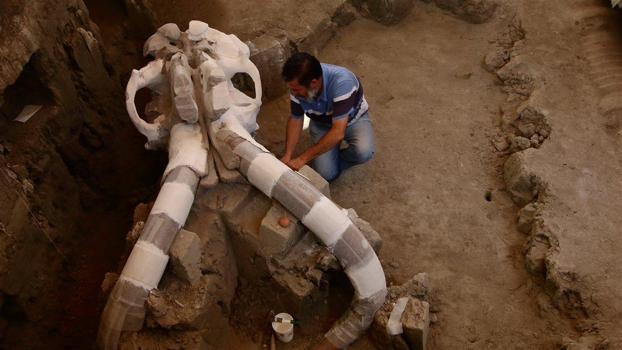 L'archéologue Luis Cordoba travaille sur le crâne du mammouth découvert en décembre 2015.