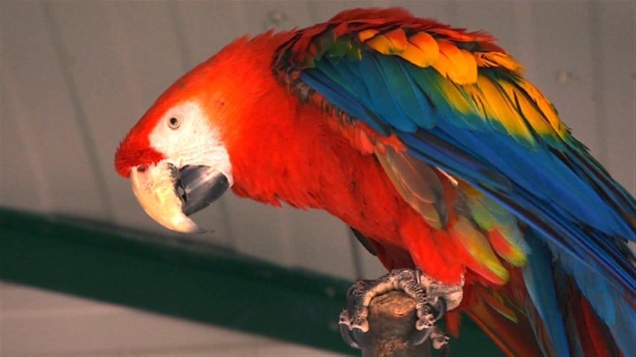 Un refuge pour perroquets de l'île de Vancouver doit trouver rapidement des familles d'accueil pour ses pensionnaires