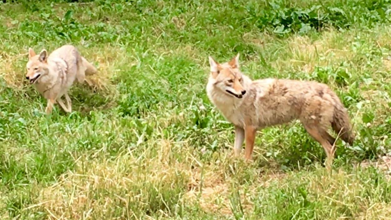 Des coyotes rodent dans les rues des villes de l'Est ontarien.