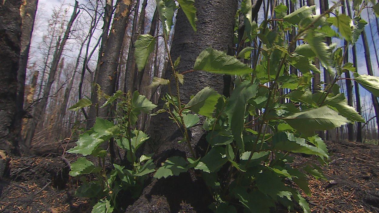 Des rejets de souche d'arbres feuillus comme les trembles et les peupliers apparaissent déjà, 7 semaines après le feu.